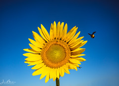 Sunflower & Bee (Wits End Photography) Tags: sunny color flowers season nature flower sunflower bluesky clear sunflowers missouri blue yellow sky plant summer stlouis columbiabottomconservationarea cloudless