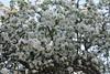 Still from those aplletree tops (Ievinya) Tags: appletree appletreeblossoms tree blossoms ābeles ziedēšana blossoming tres koki may maijs garden dārzs spring pavasaris