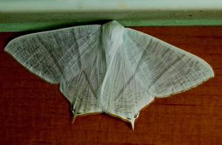 Swallow-tailed Moth - Western Himalayas ~3300m Altitude