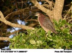 Green Heron (Bill.Thompson) Tags: greenheron butoridesvirescens ri birds