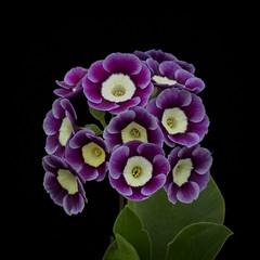 Minature Magic (MrBlueSky*) Tags: flower petal garden horticulture nature colour chelseaflowershow rhs london canon canoneos canonm6 leaf purple green
