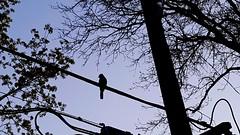Blue Jay, Halifax (Coastal Elite) Tags: bluejay bird halifax novascotia oiseau blue jay jays geai bleu oiseaux birds power line silhouette shadow morning westend arbres ciel trees sky fil électrique ligne électricité bluejays
