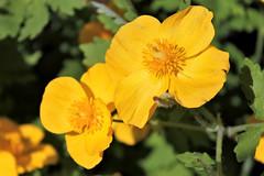 Brookside Gardens ~ yummy yellow! (karma (Karen)) Tags: wheaton maryland brooksidegardens flowers dof bokeh hbw