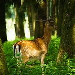 A male deer thumbnail