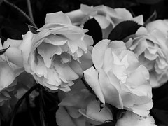 Alba Semi-Plena (I think...) (Web-Betty) Tags: rose flower flora bnw blackandwhite bush plant albasemiplena