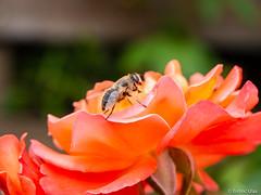 Bee (✦ Erdinc Ulas Photography ✦) Tags: smooth background panasonic black green rose pink yellow focus detail garden netherlands holland nederland bij nature bloem wing