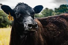 DSC_7667 (cjorda01) Tags: rome georgia ga cows cow farm farmlife animals farmanimal calf babyanimal south country farmland