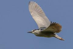 night heron (Paul Wrights Reserved) Tags: heron herons blackcappednightheron bird birding birdphotography birds birdwatching birdinflight birdofprey birdofpreyinflight