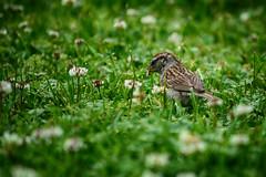 Snack Search (flashfix) Tags: june272018 2018inphotos ottawa ontario canada nikond7100 55mm300mm flashfix flashfixphotography grass bird birdphotography backyardphotography nature mothernature bokeh finch