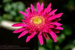 Full bloom (Stinkee Beek) Tags: hue ythaogarden flowers vietnam