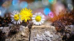 Craquelure (ΨᗩSᗰIᘉᗴ HᗴᘉS +19 000 000 thx) Tags: anothercrackinthewall flickrfriday flickerfriday flower flora bokeh bokehlicious color crack craquelure wall mur macro fuji fujifilmgfx50s fujifilm friday laowa60mm laowa