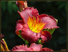 Couleurs feu ! (Armelle85) Tags: extérieur nature fleur flore lys macro