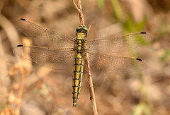 Black tailed skimmer (Severnrover) Tags: black tailed skimmer dragonfly photo image photography female insect macro
