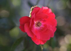 DSC09019 (Old Lenses New Camera) Tags: sony a7r kodak medalist ektar heliar 100mm f35 plants garden flowers rose roses