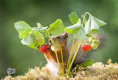 red squirrel is holding a strawberry (Geert Weggen) Tags: outdoors picnic strawberry animalwildlife animalsinthewild autumn day dinner eating eurasianredsquirrel food foodanddrink fruit grass healthylifestyle horizontal meal nopeople old photography smelling speed squirrel summer sweden tasting woodland working sweet plant taste red eat bispgården jämtland geert weggen ragunda