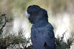 Red-Tailed Black Cockatoo (jeans_Photos) Tags: talbotroadreserve stratton westernaustralia
