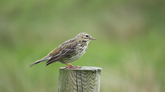 Meadow Pipit (hedgehoggarden1) Tags: meadowpipit birds rspb wildlife nature canonpowershotsx50hs ardnamurchan scotland uk canon post perched