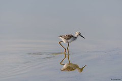 Black-winged Stilt baby (Corine Bliek) Tags: himantopushimantopus bird birds vogel vogels steltlopers waders nature natuur wetlands wildlife water baby jong klein little young small newborn