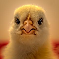 Just Another Pretty Face (Wes Iversen) Tags: davisburg hss michigan nikkor18300mm oaklandcountyfair sliderssunday babies birds chick chicken farmanimals fuzz portraits square