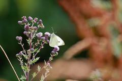 Kohlweißling bei Thiessow (Corno3) Tags: butterfly makro rügen kohlweisling bokeh schmetterling natur ostsee thiessow mecklenburgvorpommern deutschland de