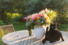 My flowers at the end of the school year accompanied by Skippy. Le Perche, Orne, Normandie, France (martine_vise) Tags: leperche orne normandie france cat ilovemycat blackcat look countrylife countryside catlife flowers gift summer summerlight evening eveninglight sunlight sun summersun garden explore greenery rurallife outside naturephotography naturelover ilovenature