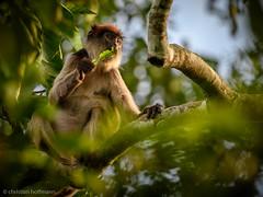 Red colobus monkey (christianxhoffmann) Tags: kibale redcolobus roterstummelaffe uganda westernregion ug