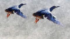 Socozinho - Striated Heron (sileneandrade10) Tags: sileneandrade socó pelecaniformes ardeidae butoridesstriata striatedheron nikon nikoncoolpixp900 photoedition photoart arte