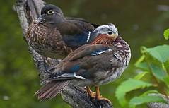 Third time's a charm (Snixy_85) Tags: duck mandarinduck burnabylake aixgalericulata woodduck aixsponsa
