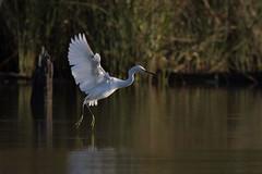 Dancer (gseloff) Tags: snowyegret bird flight bif feeding water wing nature wildlife animal bayou armandbayou pasadena texas kayak gseloff