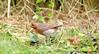 Fully Loaded....... (law_keven) Tags: robins robin gardens garden avian catford london england wildlife wildlifephotography photography birds robinredbreast
