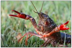 Crayfish DSC_0927 (blindhogmike) Tags: crawfish crayfish crawdad mudbug phinizy swamp augusta ga georgia