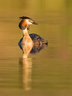 Great Crested Grebe (Male)