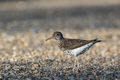 Spotted Sandpiper (getting back ( slowly )) Tags: tamron150600spvc canadianprairie canon7dmarkii spottedsandpiper calgary albertabirds