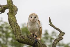 7D2_0424 (c75mitch) Tags: herringgreenfarm bird birds prey owls eagle flying captive barn barnowl