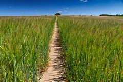 Straight as an Arrow (andybam1955) Tags: sky northnorfolk landscape norfolk barley
