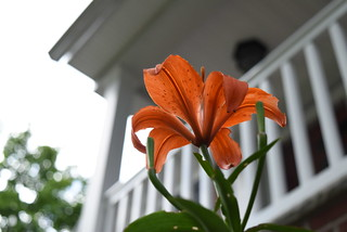 Under the Day Lily!!