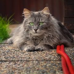 Guardian of the big red water snake (FocusPocus Photography) Tags: fynn katze kater cat chat gato tier animal haustier pet schlauch hose rot red garten garden sommer summer