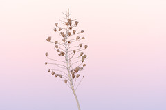 Yucca (rickcameron) Tags: soaptreeyucca yucca plant hackamoretrail brownsranch mcdowellsonoranpreserve scottsdale arizona desert sonorandesert sunrise flower