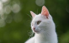 Katty (11) (Vlado Ferenčić) Tags: katty vladoferencic kitty catsdogs vladimirferencic kittens animals animalplanet dof bokeh hrvatska croatia zagorje klenovnik nikond600 nikkor8518
