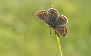 Brown Argus (Aricia agestis).