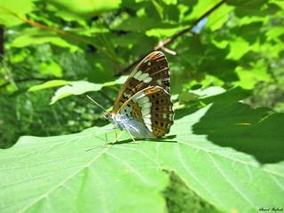 Butterfly 1707