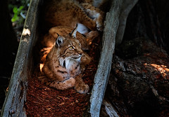 Eurasian Lynx resting inside a tree trunk (Agnolo) Tags: adult alert animal assling austria background beast carnivore cat closeup endangered eurasian eurasianlynx european fauna feline forest furry hunter looking lynx majestic mammal natural nature nobody outdoor parks portrait predator resting spotted stare undomesticated whisker wild wildcat wilderness wildlife wildpark zoo
