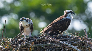 Osprey of the Jersey Shore | 2018 - 34