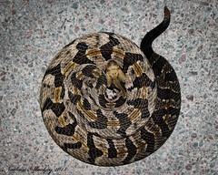 Timber Rattlesnake. Crotalus horridus (Snakes on the Plains Photography) Tags: snake viper pit venomous mackey nathan oklahoma canebrake horridus crotalus crotalushorridus timberrattlesnake rattlesnake timber