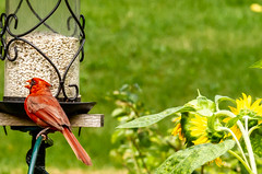 The Cardinals are Adapting... (114berg) Tags: 14july18 male northern cardinal safflower seed feeder sunflowers growing geneseo illinois
