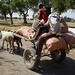 Transporting maize stalks with donkey cart