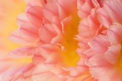 Cactus flowers light (Darea62) Tags: cactus light flower nature petals minimal