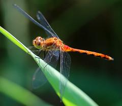 Meadowhawk (TomIrwinDigital) Tags: bug brontecreek provincialpark dragonfly dragonflies macromarvels