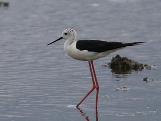 Black Winged Stilt (m) - Oare Marshes IMG_9833
