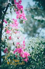 DSC_4563 (Phươngg Nam) Tags: hoa cây hoagiay may